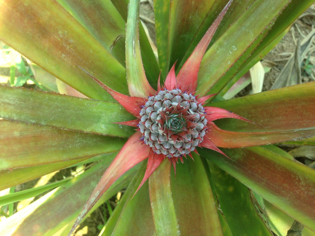 beautiful pineapple bush
