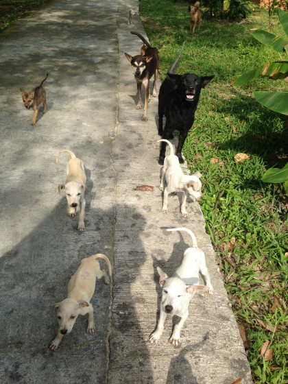 semi domesticated dogs on Koh Phayam
